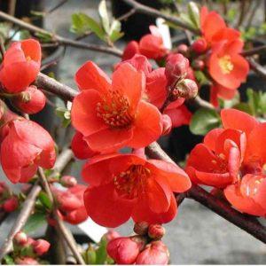 Айва японская — не только декоративное но и плодовое, особенности и характеристики дерева (фото + видео)