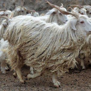 Породы коз — разнообразие и особенности содержания и разведения на загородном участке