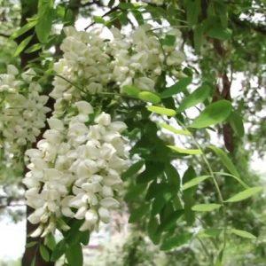 Белая акация — красивое растение дарящее настроение на вашем загородном участке, советы ландшафтных дизайнеров