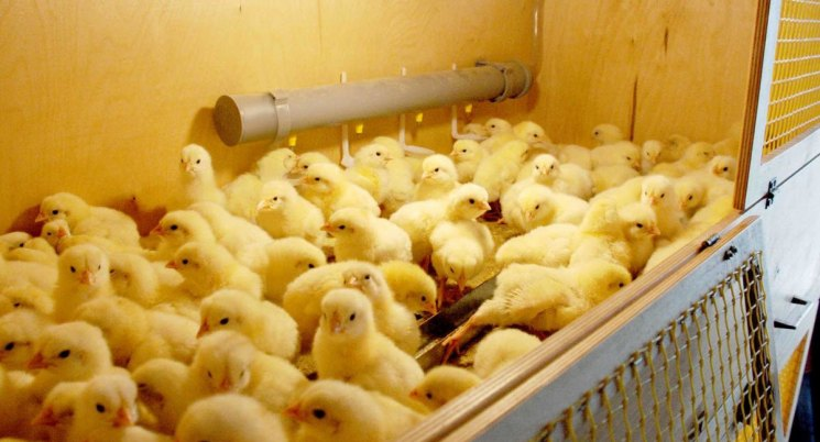 Знаете ли вы чем кормить суточных цыплят