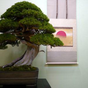 Дерево бонсай — пошаговая инструкция, как вырастить в домашних условиях, фото, видео, уход, виды, описание дерева от А до Я!