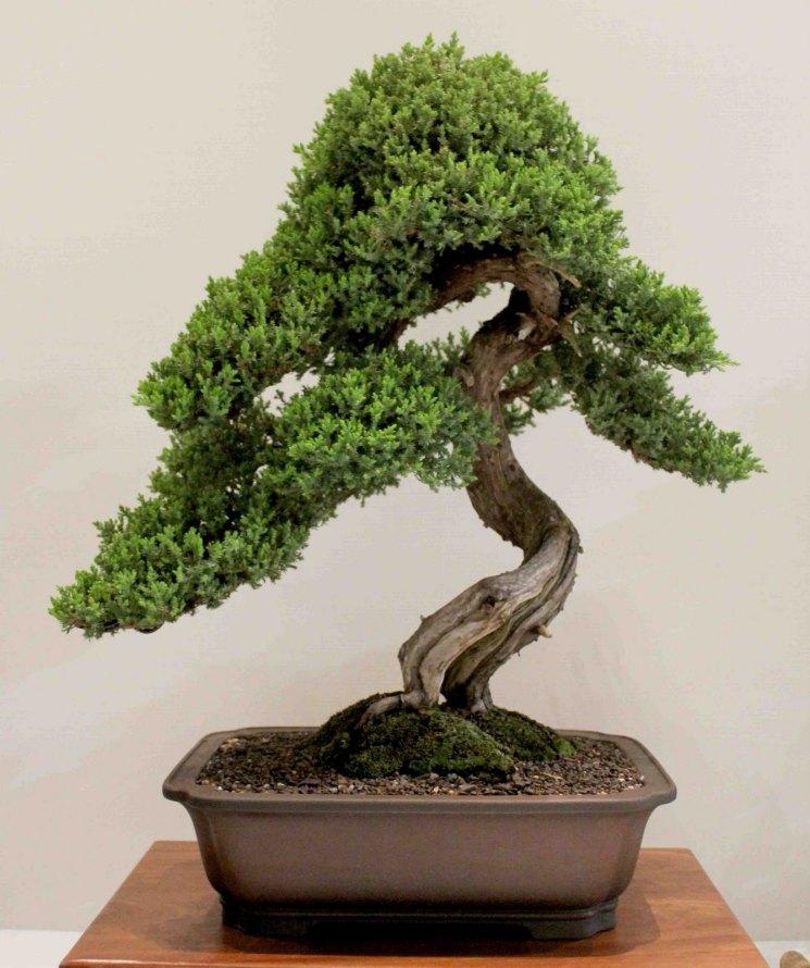 картинки бонсай микс дерево временем