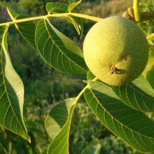 Грецкий орех — полезные и лечебные свойства плодов а также правила посадки и ухода за растением