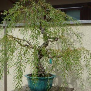 Дерево ива: фото, разновидности, посадка, уход, полное описание, размножение, как выглядит, где растет, рекомендации садовника