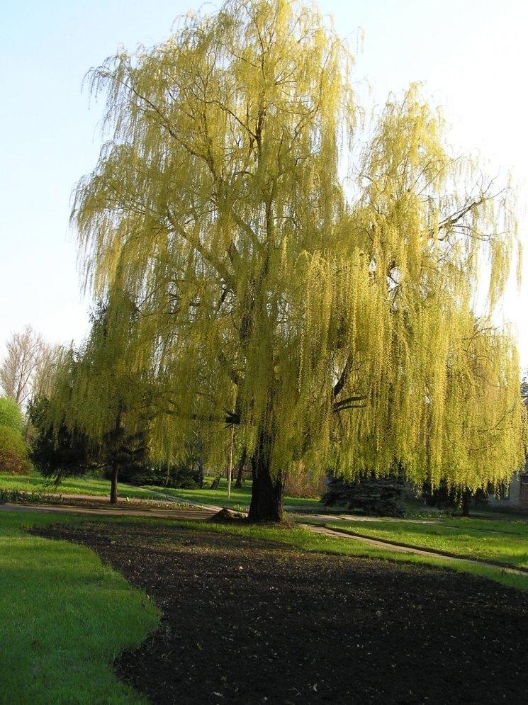 ива дерево фото