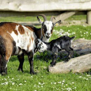 Домашняя коза — особенности содержания неприхотливого животного, ценность молока и виды пород и их особенности