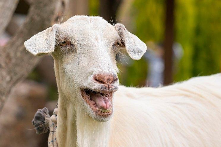 Домашняя коза - особенности содержания неприхотливого животного, ценность молока и виды пород и их особенности