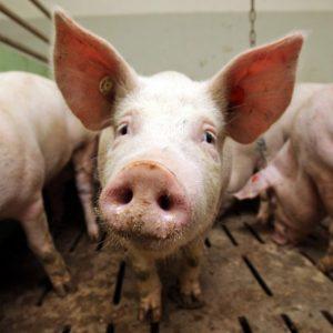 Домашняя свинья — особенности содержания и разведения хрюшек, рекомендации по кормлению и уходу
