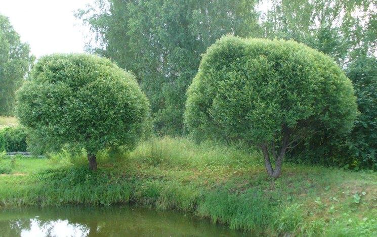 эффективна ракита дерево фото как сажать этой статьи узнаете
