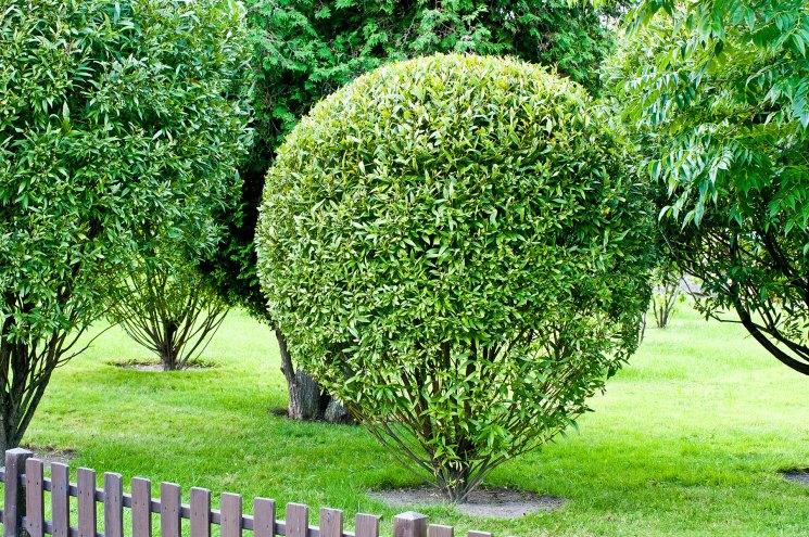 Ива шаровидная - посадка и уход за декоративным растением, правила посадки и обрезки, лучшие примеры