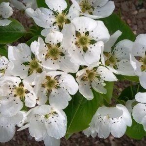 Цветение и плодоношение груши — виды и особенности различных сортов а также рекомендации по уходу