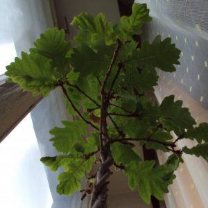 Как посадить дуб — как вырастить прекрасное дерево с маленького жёлудя, советы по уходу и посадке