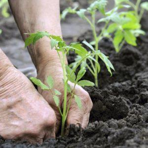Как сажать помидоры — основные правила и условия для высаживания помидор в открытый грунт (фото + видео)