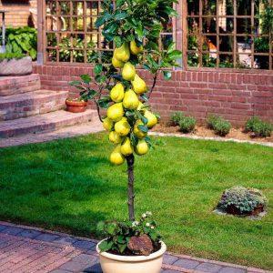 Колоновидная груша — модное нововведение или практичное и эффективное решение для фруктового сада