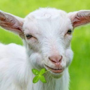 Кормление коз — правила кормления молочных пород как залог качественного молока