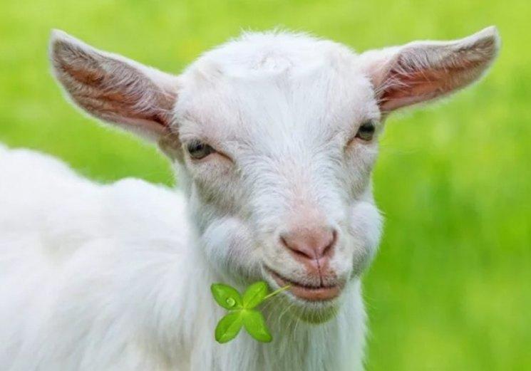 Кормление коз - правила кормления молочных пород как залог качественного молока