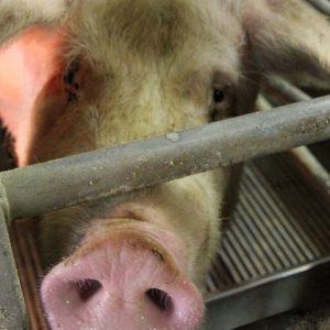 Кормление свиней — советы и рекомендации по рациону и виду кормов, правила и особенности откорма