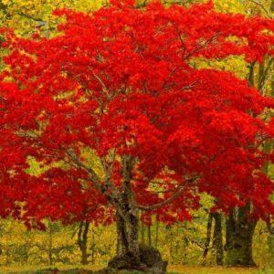 Красный клен — яркий гость из Японии, особенности и правила посадки и ухода за растением (фото + видео)