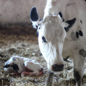 Лечение коров — основные болезни и борьба с ними, особенности применения лекарственных средств (фото + видео)
