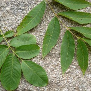 Листья грецкого ореха — обзор полезных свойств и особенности применения лекарственных средств на их основе (фото + видео)