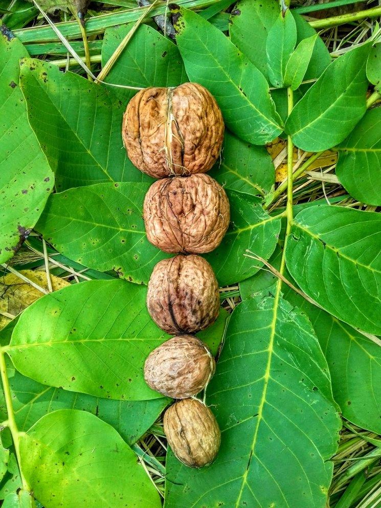 Картинка листа грецкого ореха