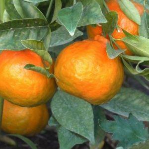 Мандариновое дерево — экзотическое растение у вас в доме, основы ухода и выращивание в домашних условиях