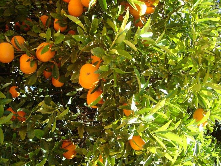 фото китай с апельсиновыми деревьями