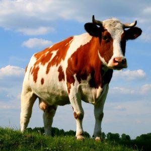 Мастит у коров — разновидности и причины возникновения, методы лечения и профилактики (фото + видео)