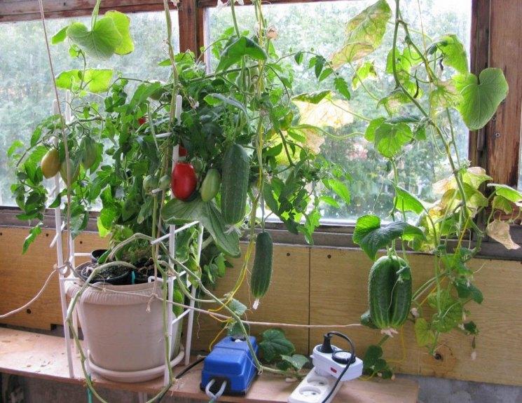Фото огурцы и помидоры на балконе парням