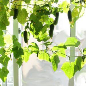 Огурцы на балконе — рекомендации по выращиванию овощей от семян до урожая (фото + видео)