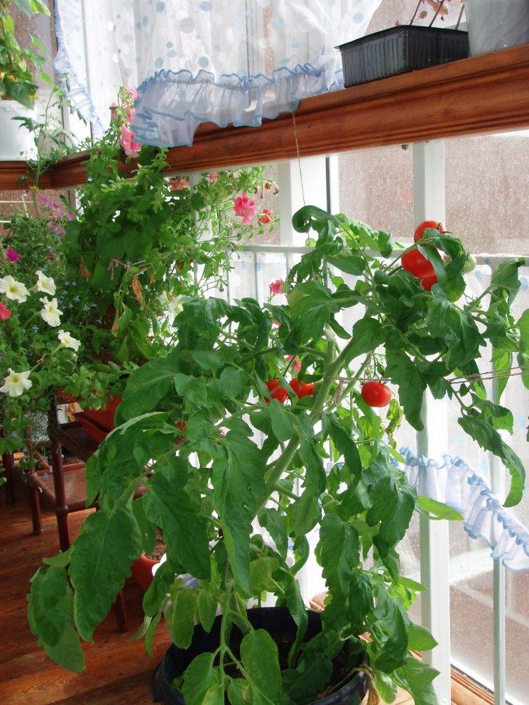Фото огурцы и помидоры на балконе изменились