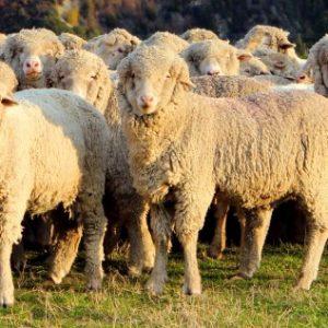 Овцеводство — как фермерский бизнес, основные риски и особенности ведения (фото + видео)