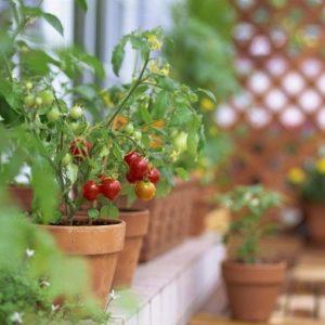 Помидоры на балконе — особенности выбора сортов и правила посадки и ухода за растениями