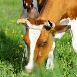 Породы коров — основные породы и их характеристики а также правила и условия их содержания (фото + видео)