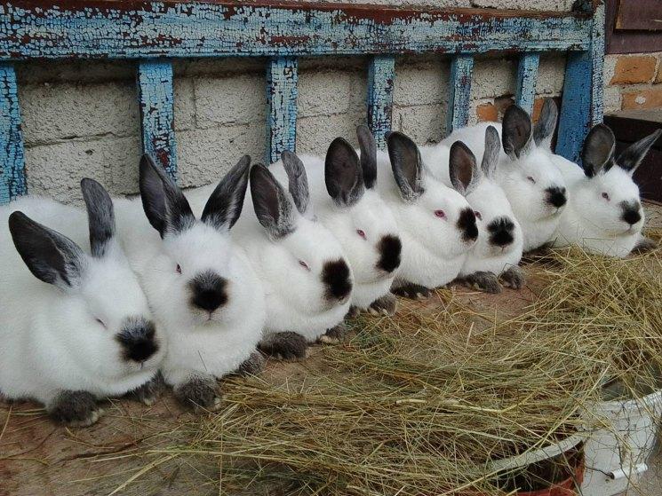 найдёте, выращивание кроликов бизнес фото около