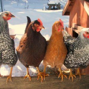 Разведение кур — основные принципы создания доходного бизнеса из домашнего птичника своими руками (фото + видео)