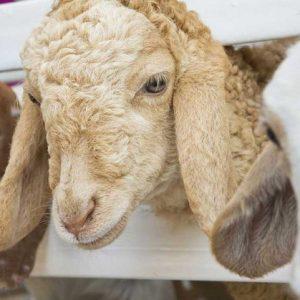 Разведение овец — овцеводство как основной фермерский бизнес, особенности и преимущества