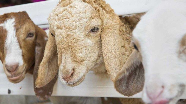 Разведение овец мясной породы технология