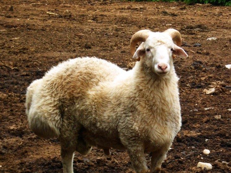 курдючные овцы фото пиксели обычно проявляются