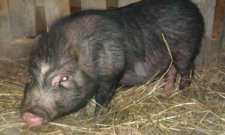 Забой свиней в домашних условиях: эффективные способы, особенности и рекомендации