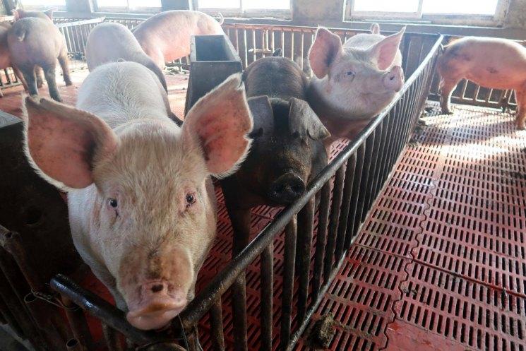 Как правильно колоть свинью в шею