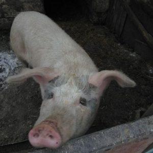 Режем свинью — правила и виды забоя свиньи а также правила разработки тушки (фото + видео)