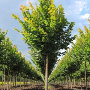 Саженцы деревьев: правила выбора и посадки саженцев в открытый грунт. Фото, инструкция, посадка, уход, отзывы, размножение