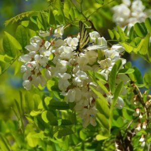 Семена акации — правила и советы по разведению и высадке красивого растения на вашем участке (фото + видео)