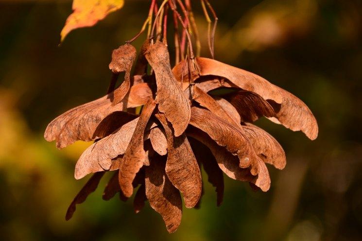 Семена клена - 105 фото и рекомендации по посадке и содержанию