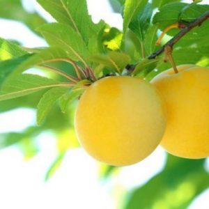 Слива медовая — яркие и сочные плоды отличительные особенности и характеристики популярного сорта у садоводов