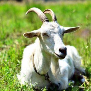 Содержание коз — выгодно и полезно, как правильно организовать фермерское хозяйство (фото + видео)