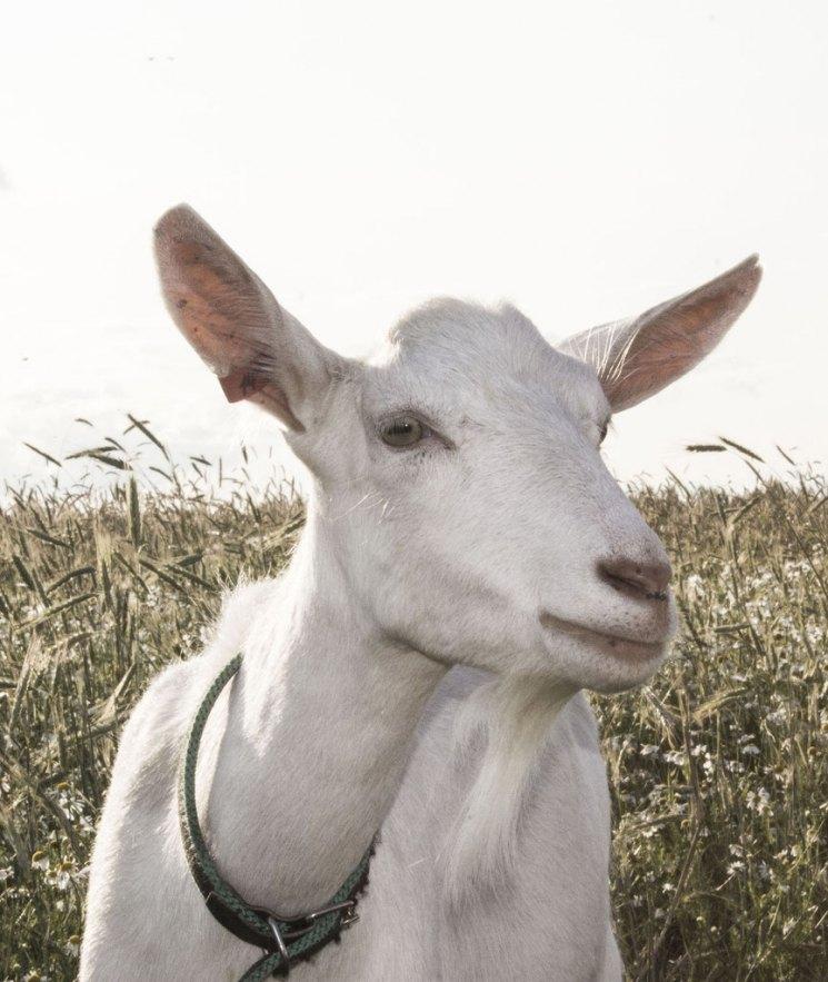 Содержание козы в домашнем хозяйстве помещение