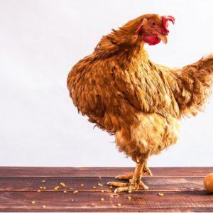Содержание кур — разнообразие видов и особенности разведения, выбор согласно требований по виду бизнеса, рекомендации и советы