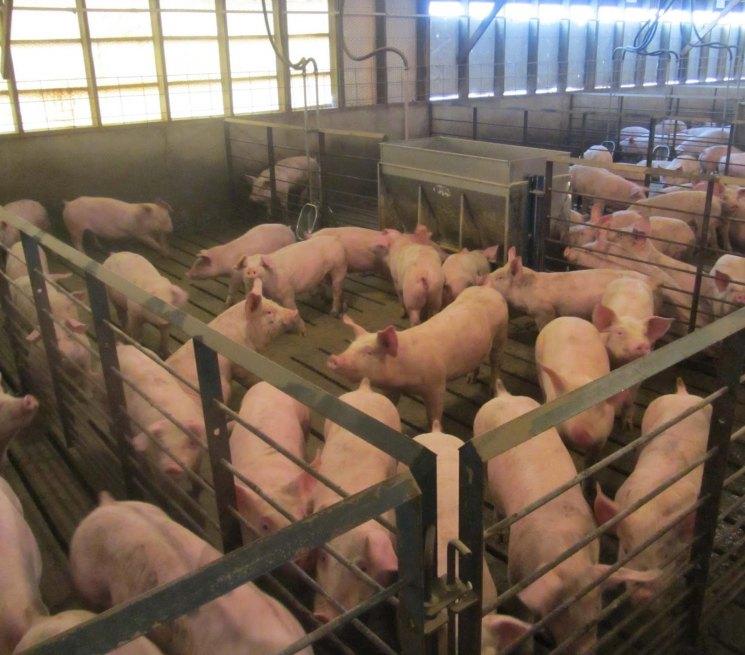 Фото домашних свинарников